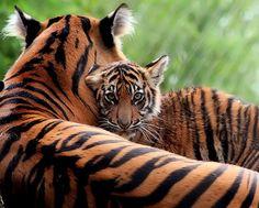 Jaya and cub | Point Defiance Zoo, Tacoma, Washington