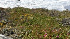 Pink blooming succulent plants along CA 1