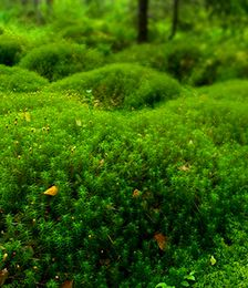Hair Cap Moss for sale online - Low Grower Prices