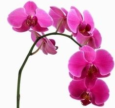 Cute orchid layout for around arm tattoo
