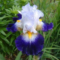 TB iris Flash of Light