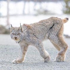 Canadian lynx in the Yukon (Canada).