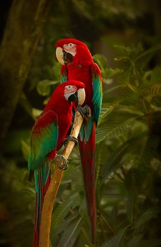 Green-winged Macaws by hurgleburgle on Flickr.