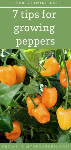 Learn how to grow peppers with these 7 tips for growing peppers and plant a few varieties of peppers to spice up your garden. Starting A Vegetable Garden, Backyard Vegetable Gardens, Veg Garden, Garden Care, Garden Tips, Garden Ideas, Summer Garden, Garden Paths, Growing Green Peppers