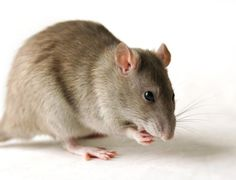 Are Yoruba People Genetically Resistant To Lassa Fever? See Nigerian Professor's Claim Pet Mice, Pet Rats, Animal Facts, Animal 2, Getting Rid Of Rats, Yoruba People, Love Natural, Rodents, Pest Control