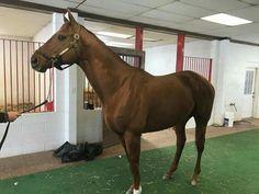 Dortmund out for inspection at Bonita Farm Horses, Animals, Dortmund, Animales, Animaux, Animal, Animais, Horse