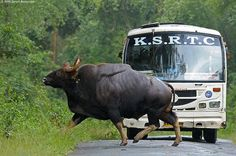 Guar, the largest bovine species on earth. Bus for scale. Animals And Pets, Cute Animals, Wild Animals, Crazy Animals, Nature Animals, Most Endangered Animals, Amazing Beasts, Mundo Animal, Travel And Leisure