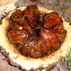 Just learnt from Stephen Fry on QI that my favourite nut, the Brazil, is an amazing plant. The tree can grow for over 500 years and only in the wild - Most of the nuts we eat are from Bolivia and the tree only exists because a particular larger species of orchid bee needs it's flowers pollen to reproduce. It contains small elements of the radioactive element radium. Amazing!