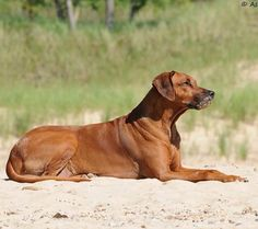 This is my Ridgeback, Leo's mom. She's gorgeous.