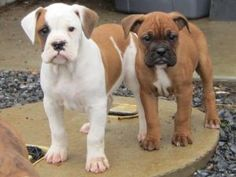 Bullboxer Puppies: My dream dog! Or at least one of them... xD