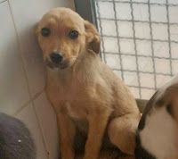 Ohana Dog_Blog: Setter cucciola in adozione Latina