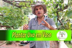 Plantar Uva em vaso, veja dicas com quem entende cultive plantas e colha...