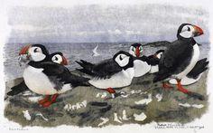 Macareux 11.7.1963, Farne Islands, England Robert HAINARD Oiseaux puffin