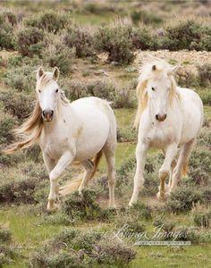 Wilde Greys  bildende Kunst Wildpferd Foto  Wildpferd