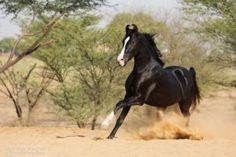Kathiyawadi Horse, Horse Art, Beautiful Horses, Animals Beautiful, Beautiful Gorgeous, Funny Animals, Cute Animals, Marwari Horses, Types Of Horses
