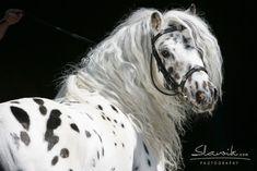 author Sabine Ellinger's world-famous Mini stallion Lancelot