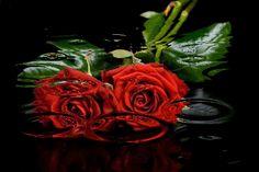 wet roses