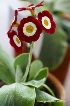 Angela Lobley was awarded third prize for her lovely example of Primula auricula 'Scorcher' at The National Auricula and Primula Society Southern Section Auricula Show. Red Flowers, Beautiful Flowers, Dove House, Primula Auricula, Primroses, Bright Eyes, My Secret Garden, Colorful Garden, Flower Power