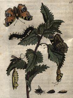 """Maria Sibylla Merian, """"Große Brennnessel (Stinging Nettle) Plate 26"""", from 'Der Raupen wunderbare Verwandelung, und sonderbare Blumennahrung' (1679) (courtesy Universitätsbibliothek Johann Christian Senckenberg, Frankfurt)"""