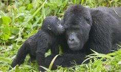 A rare sight. A mountain gorilla baby kisses her mother in Bwindi Impenetrable rain forest, Uganda.