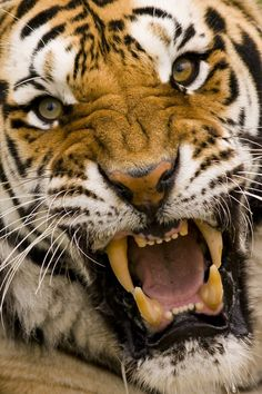 menaçant tigre lynx cats big Tigre menaçant You can find Lynx and more on our website Beautiful Cats, Animals Beautiful, Animals And Pets, Cute Animals, Gato Grande, Big Cats Art, Cat Species, Tiger Art, Lovely Creatures