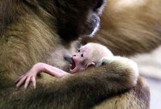 New Born beloruky gibbon - Andrey Pronin/SIPA/REX