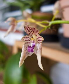 Bulbophyllum Gutulatum