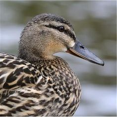 duck (killed a few)