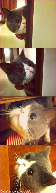 Exotic shorthair kitty