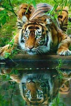 After watching Life Of Pi I have a strange desire for tigers.