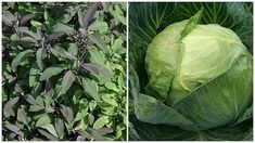 Zdravá zahrada | Prima nápady Pesto, Cabbage, Vegetables, Garden, Food, Garten, Lawn And Garden, Essen, Cabbages