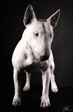 Bull Terrier Lovers Club