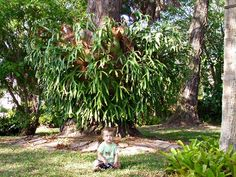 Staghorn Fern - my grandpa had a few of these hanging from 100ft high mango trees in their side yard.