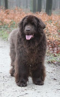 A beautiful senior newfie. She's 10 years old.