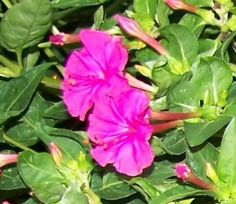 50 Hot Pink 4 O'clock Fresh Flower Plant Seeds