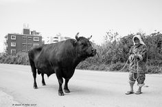 People of Okinawa- Bullfighting | by Okinawa Nature Photography
