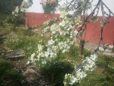 Flores de ciruelo.