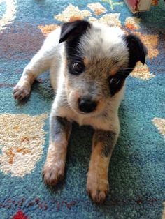 Our Australian Cattle Dog (Blue Heeler), Gidget, very young little puppy.