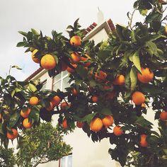 #orangetree #spring #fiaisdabeira #vscoportugal