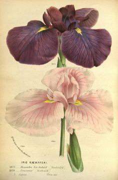 Iris ensata - circa 1845