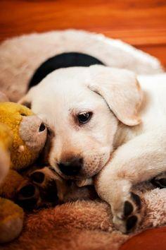 Yellow Lab Dog Puppy Puppies Labrador Retriever