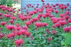 Bee balm are a great garden filler and blooms around the of july Truffela Trees, Happy 4 Of July, 4th Of July, Bee Balm Plant, Outdoor Classroom, Replant, Garden Signs, Seed Starting, Garden Projects