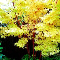 Acer palmatum senkaki, Coral Bark Tree for sale Small Palm Trees, Colorful Trees, Sweet Olive Tree, Coral Bark Maple, Oak Tree Drawings, Tree Borders, Oak Tree Tattoo, Specimen Trees, Gravel Garden