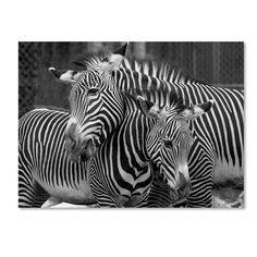 """Trademark Art 'Zebras' Photographic Print on Wrapped Canvas Size: 35"""" H x 47"""" W"""