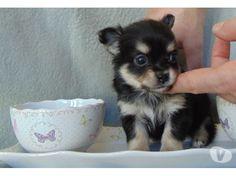 5 chiots chihuahua poils long recherche une famille.... - Achat & vente animaux Marche en Famenne - 6900 sur Vivastreet.be