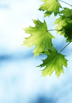 Maple leaves against a summer sky...so beautiful