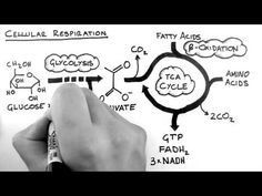 Overview of Cellular Respiration. This page includes the best video tutorials on Glycolysis, TCA cycle (Krebs cycle) and Beta Oxidation. Science Cells, Science Biology, Science Education, Life Science, Biology Major, Biology Lessons, Science Lessons, Science Videos, Science Projects