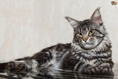 The Maine Coon Cat Breed Information and Facts, including buying advice, photos, average costs to own and health care tips. Large Domestic Cat Breeds, Large Cat Breeds, Largest Domestic Cat, Maine Coon Kittens, Tabby Cats, Cat Stands, Norwegian Forest Cat, Cat Facts, Animals