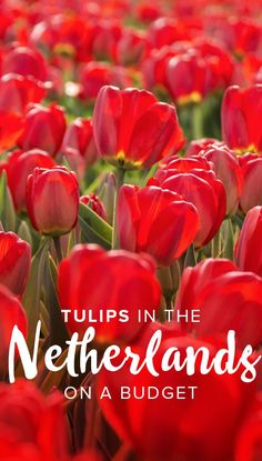 Seeing tulips in the Netherlands is a must, but the standard method of visiting Keukenhof can be expensive for backpackers or tourists on a budget! Click through to learn about the cheapest way to see tulips in the Netherlands, complete with instructions European Travel Tips, Europe Travel Guide, European Destination, Spain Travel, Travel Destinations, Travel Guides, Travel Belgium, Budget Travel, Backpacking Europe