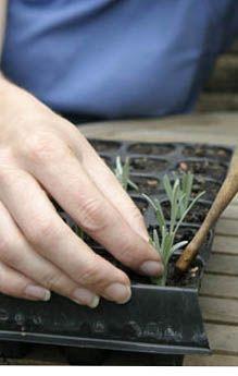 14 Aug: Taking lavender cuttings | | Amateur Gardening Amateur Gardening